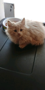 Female kitten to give away to a good home
