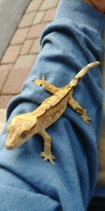 Juvie male crested gecko