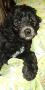 6 Multi color F1B Goldendoodle puppies Ready for new homes!