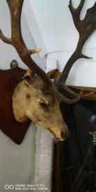 Taxerdermy stags head