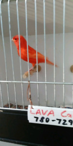 Deep red color red factor canary for sale