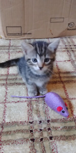 Litter trained with all shots kitten