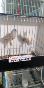 NICE PAIR OF CANARIES FOR SALE