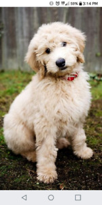 WANTED - Goldendoodle / Labradoodle