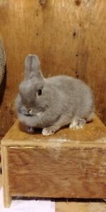Netherland dwarf rabbit looking for new home