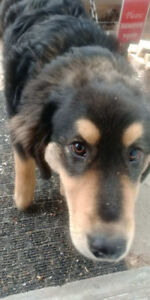 3 months old mix Autrilian shepherd dog looking for a home