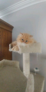 Flat face persian kittens 2BOYS ONLY