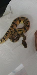 ENCHI FEMALE BALL PYTHON