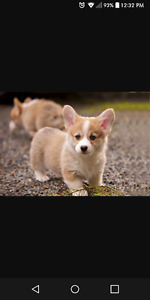 WANTED! Small breed puppy.