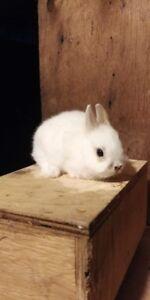 Female Netherland Dwarf Bunny