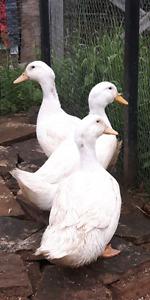 3 Pekin Ducks