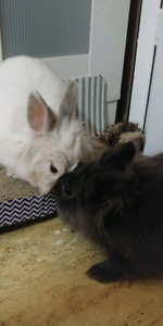 2 RABBITS FOR REHOME *BONDED PAIR*