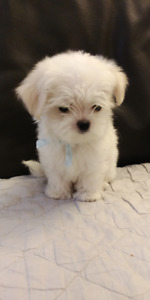 **Angel Eye** Maltese Female Puppy Available