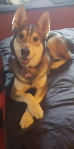 Husky/Shephard mix to the right forever home