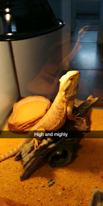 Adult male bearded dragon with enclosure
