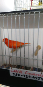Intensive red factor male canary for sale