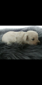 toy size maltipoo puppy (maltese x poodle)