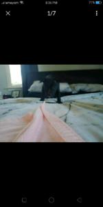Last female amstaff pup