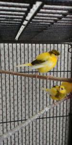 Singing canaries