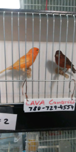 Champion canary breeder has birds for sale