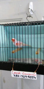 BIRDS FOR SALE SINGINNG CANARIES
