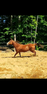 Registered Appendix QH mare in foal