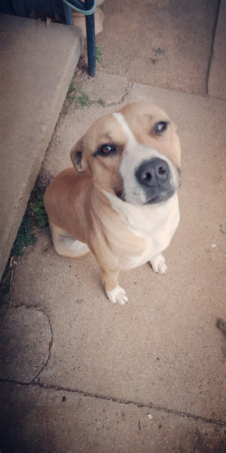 Free to a good home beautiful staffy | Dogs & Puppies