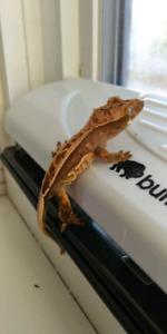 2018 Crested Gecko Hatchlings-OBO
