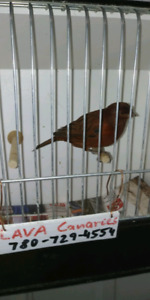 Champion breeder has canaries for sale