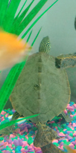 Anyone interested in medium size Mississippi map turtles??