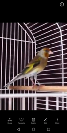 Mule goldfinch Lovely bird he sings