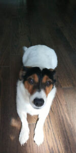 5 years old Jack Russell