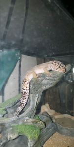 Leopard Gecko | Kijiji in Alberta  - Buy, Sell & Save with