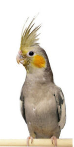 baby cockatiel parrot handfed friendly for sale