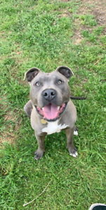Blue American Staffy
