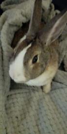 Female Rabbit with indoor cage.