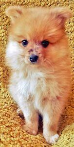 Purebred Pomeranian Puppy