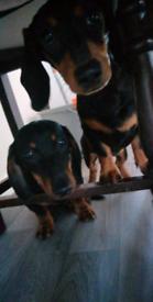 Amazing pure dachshund