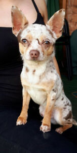 Looking for a female Merle chihuahua