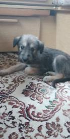 Collie x Puppy