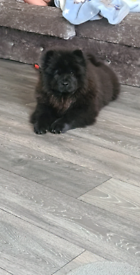 Female chow chow puppy forsale