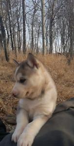 Amazing Husky puppies