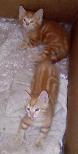 2 orange kittens Moose Jaw Regina Area image 1