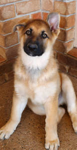 Purebred German Shepherd pups Available Now - Take home today