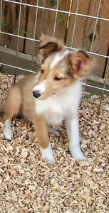 SHELTIE PUPPIES !!  ONLY 1 LEFT !!