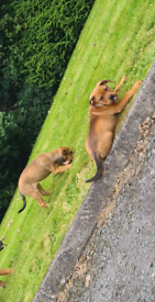 Standard American Bully pups