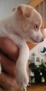RESTE UN SEUL Chihuahua a tete de cerf a vendre
