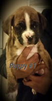 5 BOXER PUPPIES READY IN 2 WEEKS