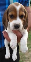 6 adorable Bluetick/Coonhound/Beagle Hound mix puppies