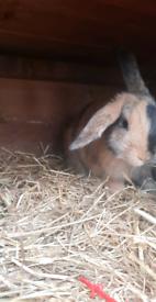2 boy rabbits